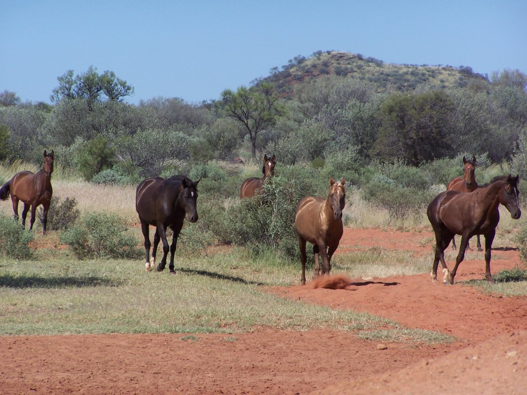 Brumbies at Eight Mile